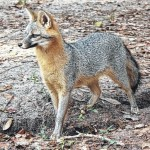 Officials: Rabid fox attacks Rockingham woman