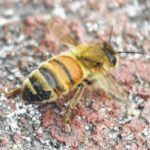 Bees removed from historic Hamlet home